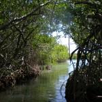 Mangroven2