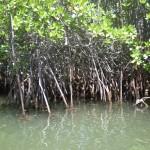 Mangrovenhain1
