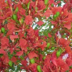 Redflowertree
